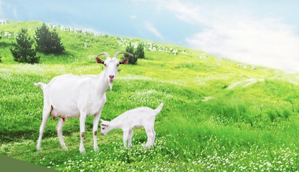 Sữa dê tươi tự nhiên